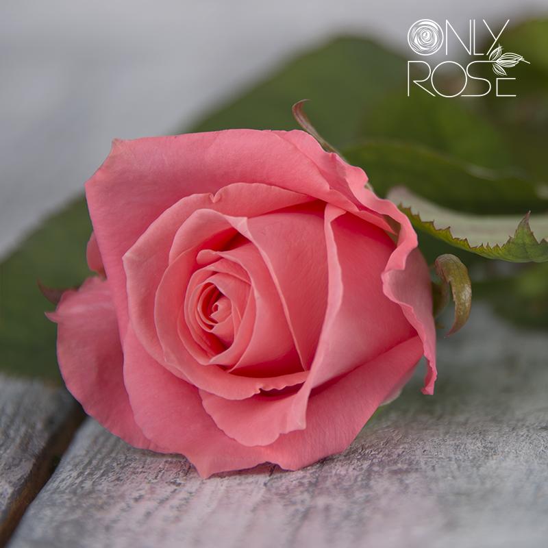 Троянда Анна Каріна