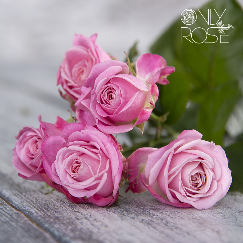Троянда-спрей Леді Бомбастік