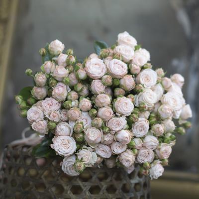 Букет из 19-ти веток пудровых пионовидных роз «Бомбастик»