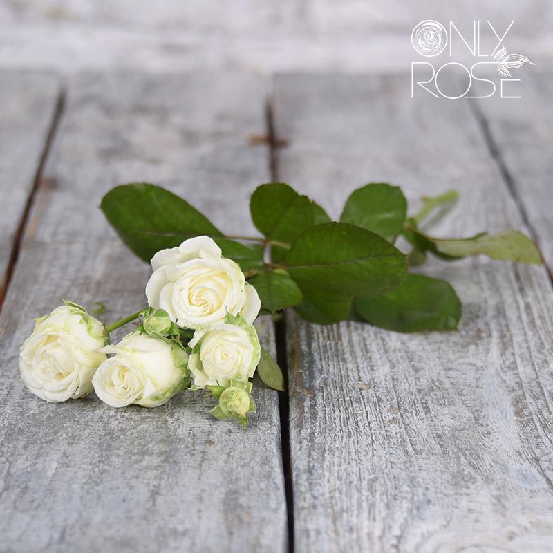 Роза-спрей Мисс Бомбастик