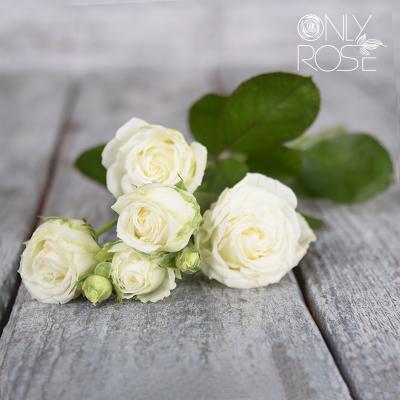 Троянда-спрей Міс Бомбастік