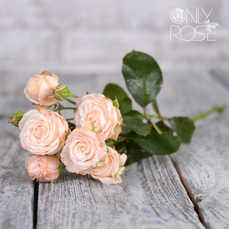 Троянда-спрей Бомбастік