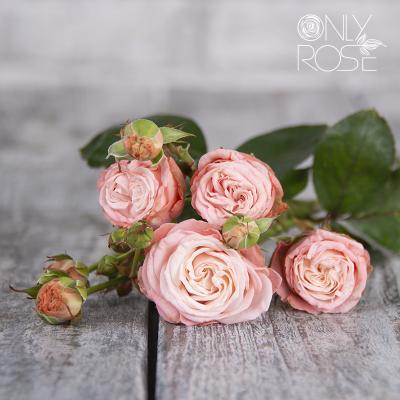 Троянда-спрей Мадам Бомбастік