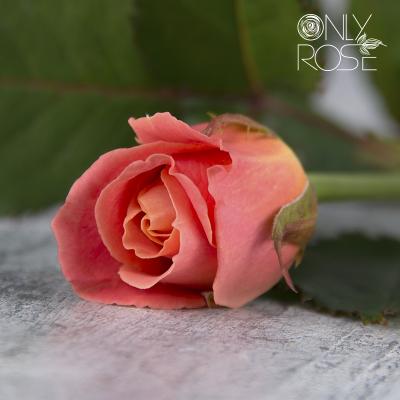 Троянда Міс Піггі