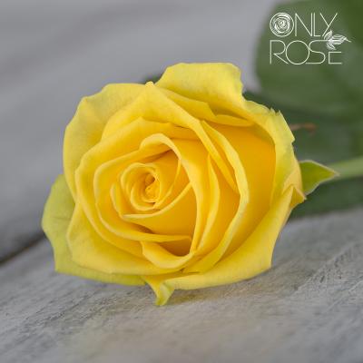Троянда Пенні Лейн