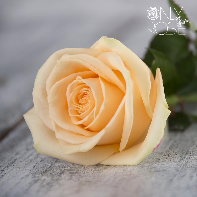 Троянда Піч Аваланч